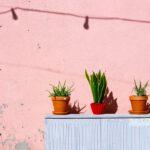 Een Oleander kopen